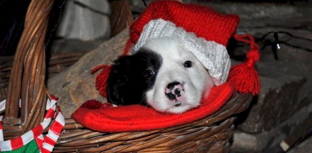 Collie pup cal 14